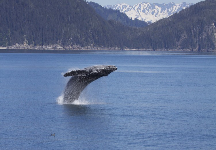 Whale in Kenai Fjords