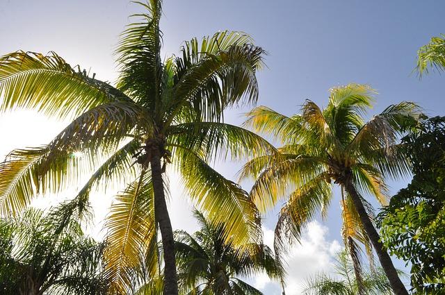coconut trees in fiji