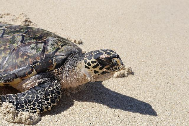 fiji turtle