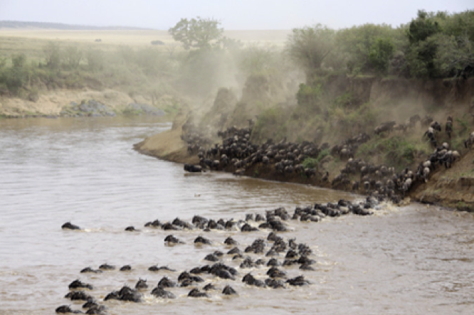 Great Wildebeest migration in Tanzania as animals cross a river