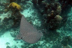 sting ray in turks and caicos for honeymooners